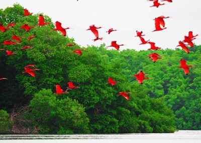 Trinidad-Red-Ibis
